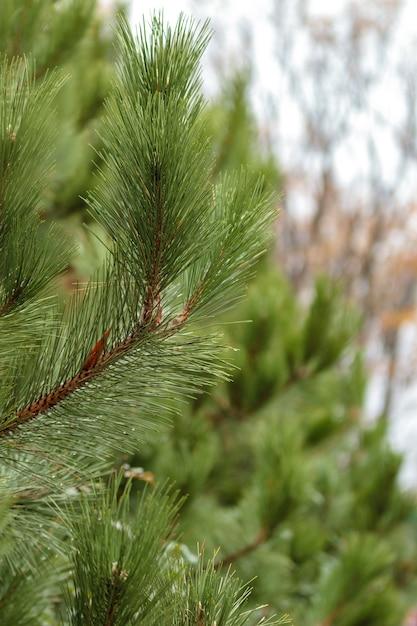 Grüner tannenzweig mit unscharfem hintergrund. nadelholz laub textur Premium Fotos