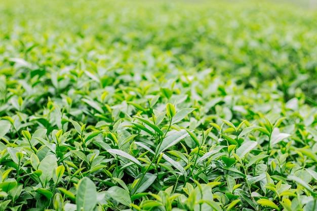 Grüner tee auf natürlichem hintergrund. Premium Fotos