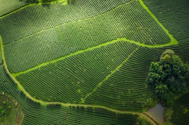 Grüner tee des landwirtschaftlichen bereichs auf bergchiang rai thailand Premium Fotos