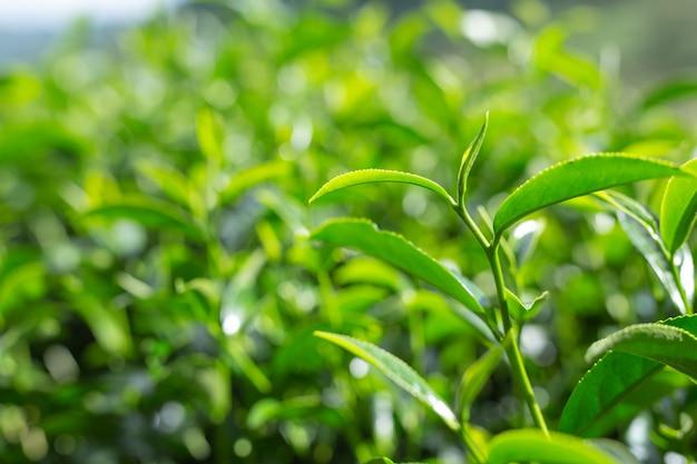 Grüner teeblatthintergrund in den teeplantagen. Kostenlose Fotos