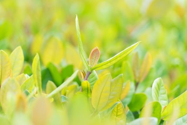 Grünes blatt auf unscharfem grün im garten, natürliche grünpflanzelandschaft. Premium Fotos