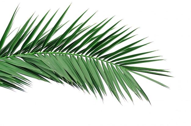 Grünes blatt einer palme. auf weiß zu isolieren Premium Fotos