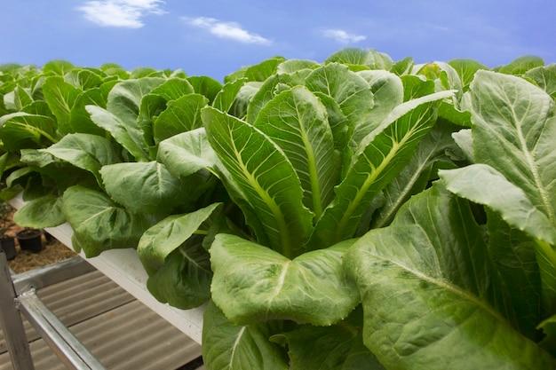 Grünes blattgemüse wird mit hydroponischen methoden angebaut. Premium Fotos