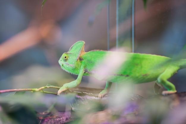 Grünes chamäleon sitzt auf einer niederlassung. Premium Fotos