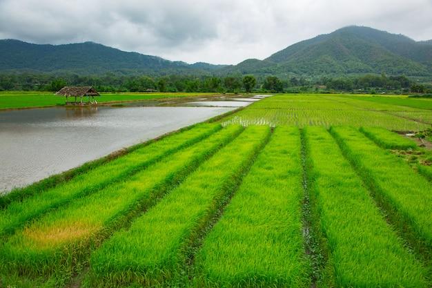 Grünes feld der reispflanze mit wasser Premium Fotos