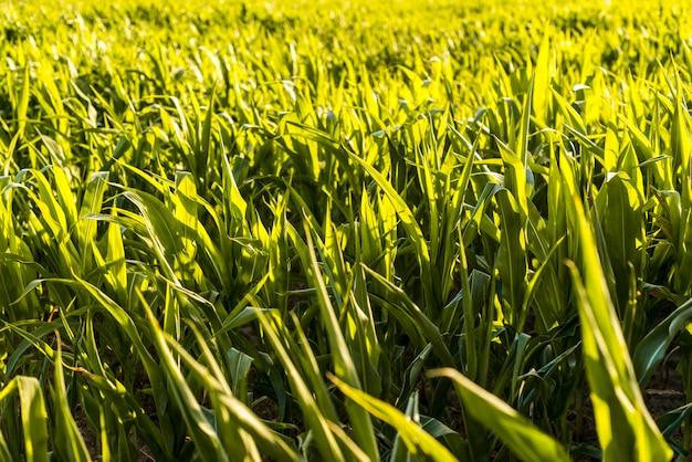 Grünes getreidefeld an einem sonnigen tag Premium Fotos