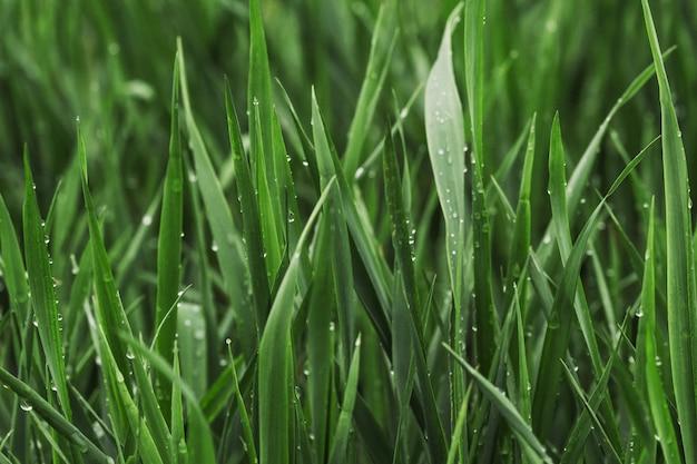 Grünes gras des sommers bedeckt mit reinem tau Premium Fotos