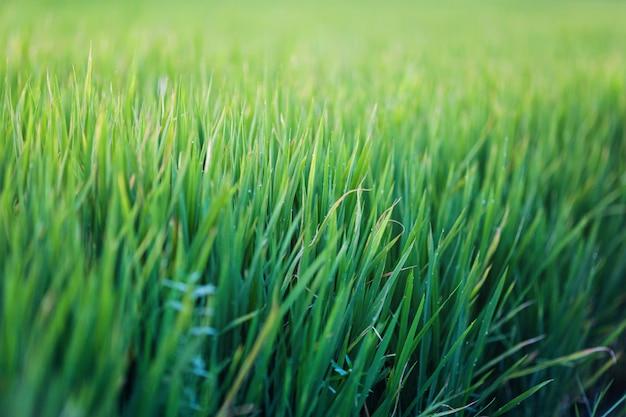 Grünes gras textur hintergrund Premium Fotos
