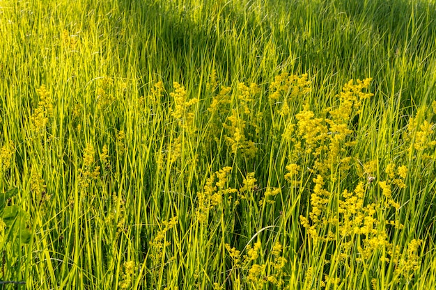 Grünes hohes gras auf dem gebiet. Premium Fotos