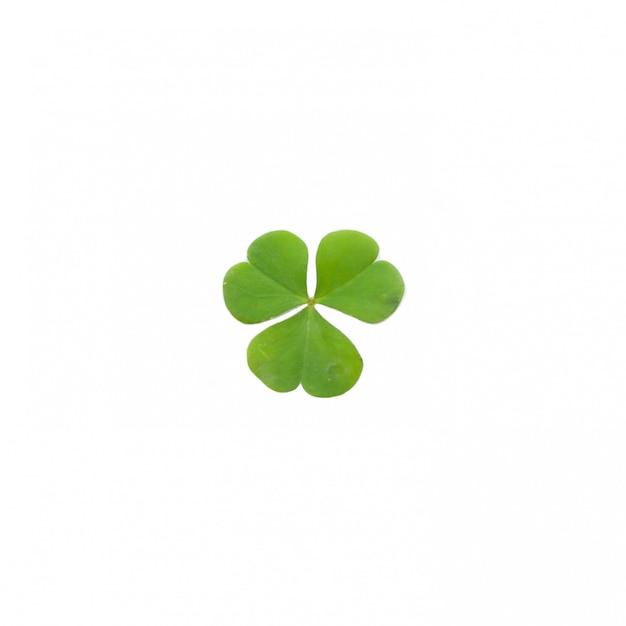 Grünes kleeblatt getrennt auf weiß Premium Fotos