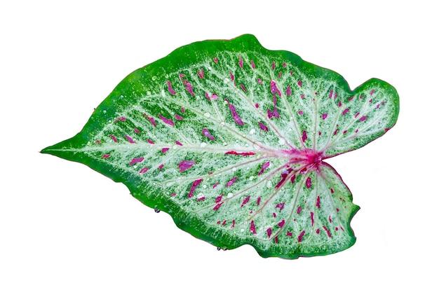 Grünes und rotes blatt mit dem regentropfen getrennt auf weiß Premium Fotos