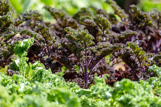 Grünkohl auf natürlichem organischem boden. der grünkohl ist winterfähig Premium Fotos