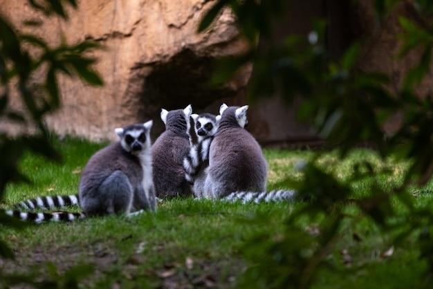 Gruppe der katta, die unter bäumen in madagasacar gesehen wird. lemur catta lemuridae. Premium Fotos
