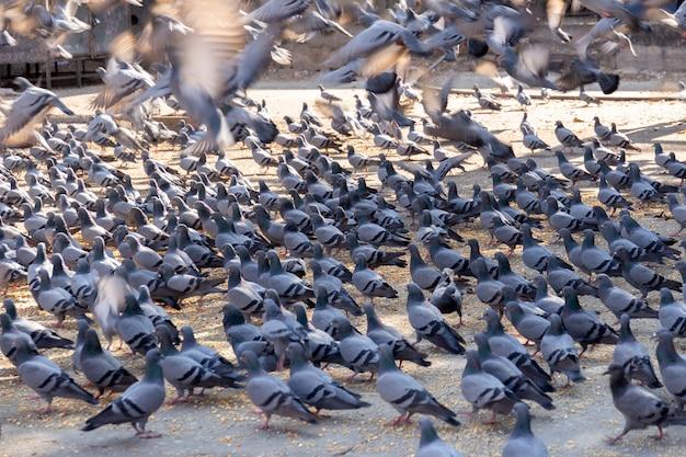 Gruppe der tauben auf straße in jaipur indina. Premium Fotos