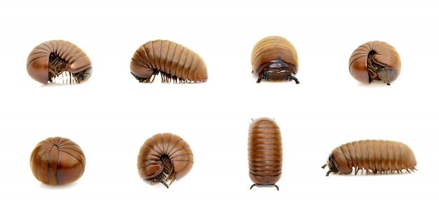 Gruppe des pillentausendfüßerwurms (oniscomorpha) lokalisiert. glomerida. insekt. tier. Premium Fotos