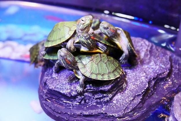 Gruppe des roten ohrigen schieber-schildkrötenabschlusses oben Premium Fotos
