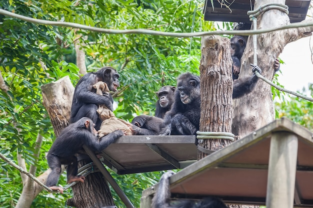 Gruppe des schimpansen zusammen sitzend Premium Fotos