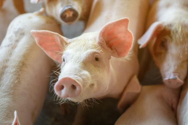 Gruppe des schweins, das in lokaler asean-schweinefarm viehbestand gesund betrachtet. Premium Fotos