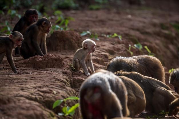 Gruppe des stumpfs band makaken an, tragen makaken (macaca arctoides) essen und stehen während eines ruhigen sonnigen abends an der phetchaburi-provinz, nicht jagdgebiet khao kapook khao tormoor, thailand still Premium Fotos