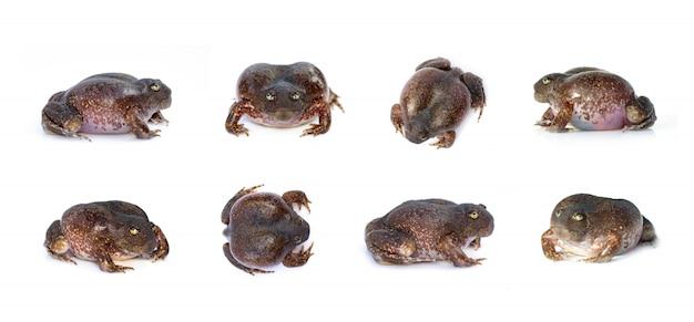 Gruppe des stumpfschnauzenden grabenden frosches oder des ballonfrosches (glyphoglossus molossus). amphibie. tier. Premium Fotos