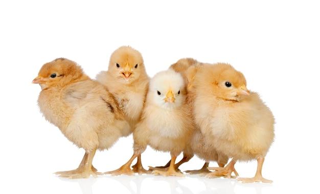 Gruppe gelbe hühner Premium Fotos
