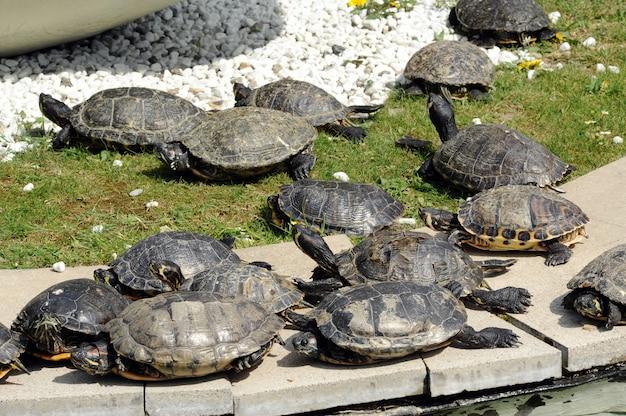Gruppe schildkröten, die sich sonnen Premium Fotos