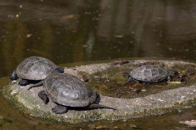Gruppe schildkröten stehen auf stein an der sonne nahe wasser still Premium Fotos