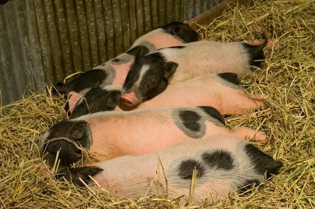 Gruppe schweine im bauernhofyard Premium Fotos