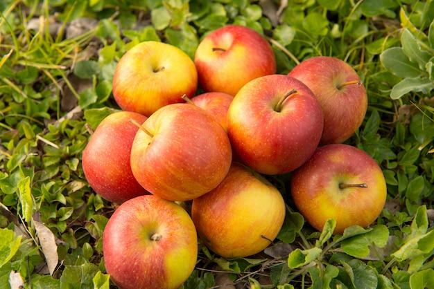 Gruppe von äpfeln im gras, nahe einem baum Premium Fotos
