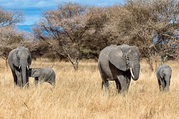 Gruppe von elefanten, die auf dem trockenen gras in der wildnis gehen Kostenlose Fotos