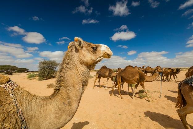 Gruppe von kamelen, die gras in der wüste essen, in layoun marokko Premium Fotos