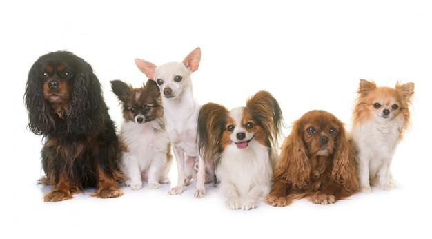 Gruppe von kleinen hunden Premium Fotos