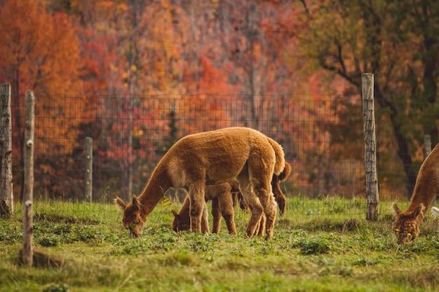 Gruppe von lamas, die das gras hinter einem zaun in einem feld grasen Kostenlose Fotos