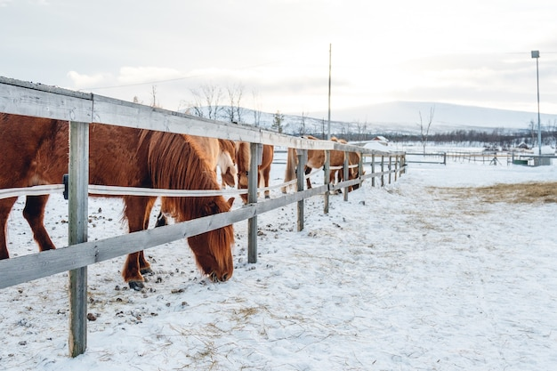 Gruppe von niedlichen pferden, die auf der verschneiten landschaft in nordschweden hängen Kostenlose Fotos