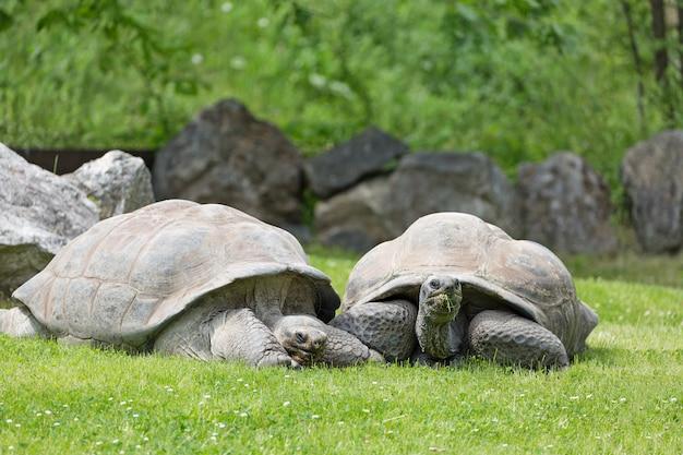 Gruppe wilde galapagos-schildkröten auf grünem gras Premium Fotos