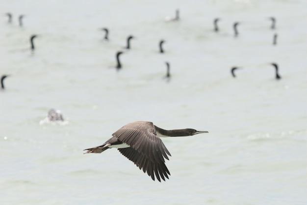 Guanay-kormoran, der über ozean fliegt Premium Fotos