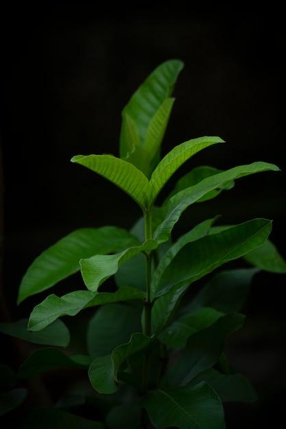 Guavenblatt auf einem dunklen hintergrund Premium Fotos