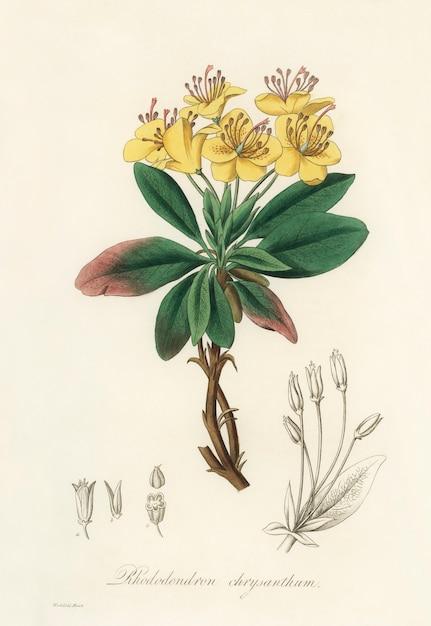 Gummi-benjamin-baum (rhododendron chrysanthum) abbildung aus der medizinischen botanik (1836) Kostenlose Fotos