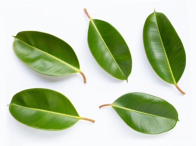 Gummipflanzenblätter auf weißem hintergrund. Premium Fotos