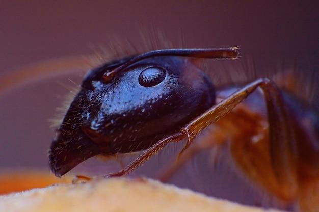 Haariges ameiseninsekt der extremen supermakrokönigin Premium Fotos