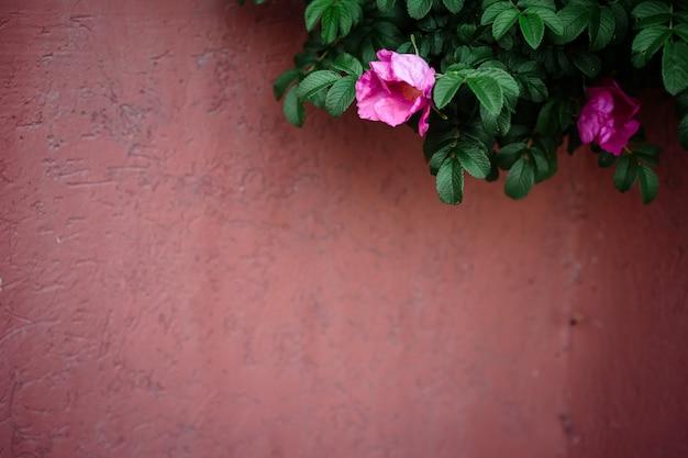 Hagebuttenbusch mit blumen im fokus auf dem verwischten rosa zaunhintergrund. speicherplatz kopieren. Premium Fotos
