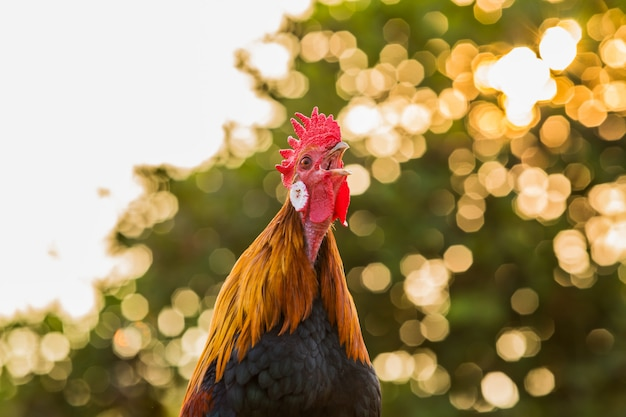 Hahnhuhnhahnkrähe morgens Premium Fotos