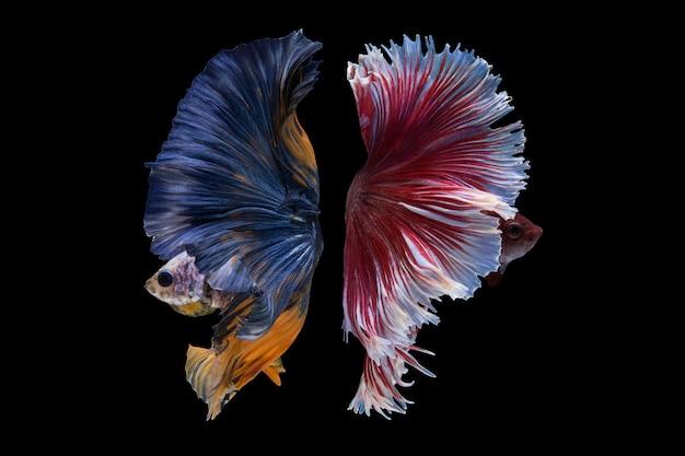 Halbmond betta fish Kostenlose Fotos