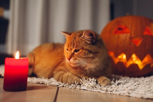 Halloween feier. rote katze, die durch geschnitzte kürbise auf küche sitzt. jack-o-laterne. Premium Fotos