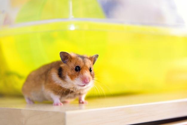 Hamster rennt in der nähe seines käfigs Premium Fotos