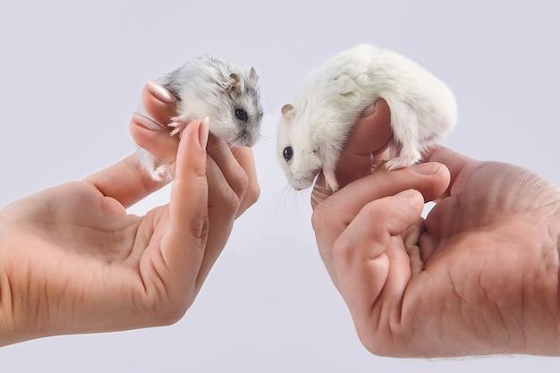 Hamster sitzen auf den handflächen eines mannes und einer frau Premium Fotos
