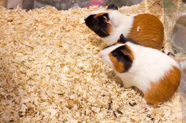 Hamster Premium Fotos