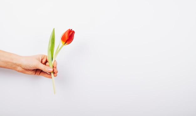 Hand der person, die frische tulpenblume auf weißem hintergrund hält Kostenlose Fotos