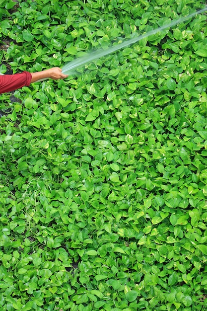 Hand des gärtners, die hellgrüne efeupflanzen des teufels mit sprühschlauch wässert Premium Fotos