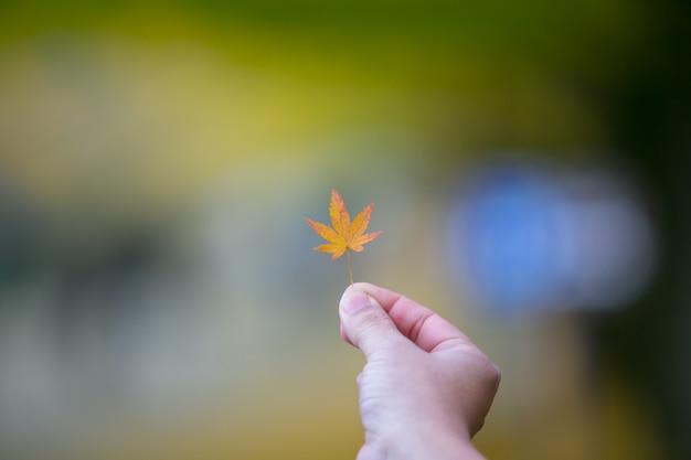 Hand, die rotahornblätter im park in tokyo, japan zeigt Premium Fotos